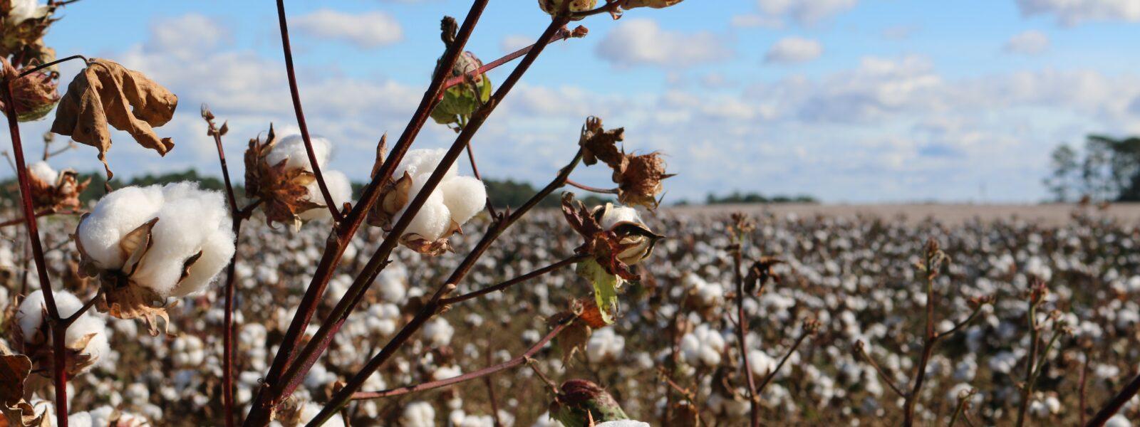 A cotton field