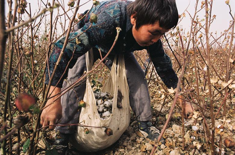 A farmer picking up cotton bolls